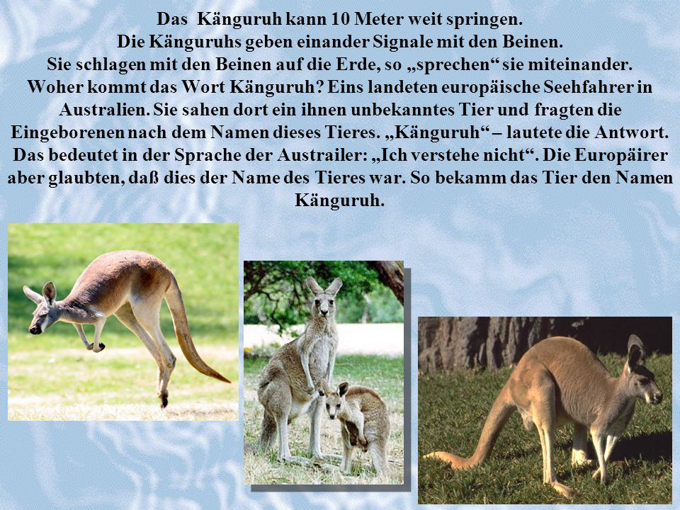 Das Känguruh kann 10 Meter weit springen