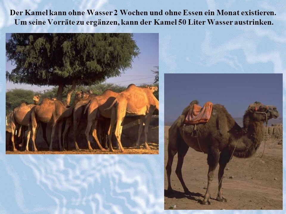 Der Kamel kann ohne Wasser 2 Wochen und ohne Essen ein Monat existieren.