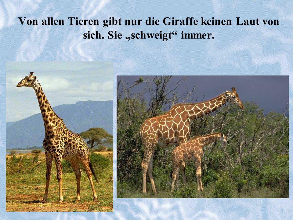 Von allen Tieren gibt nur die Giraffe keinen Laut von sich