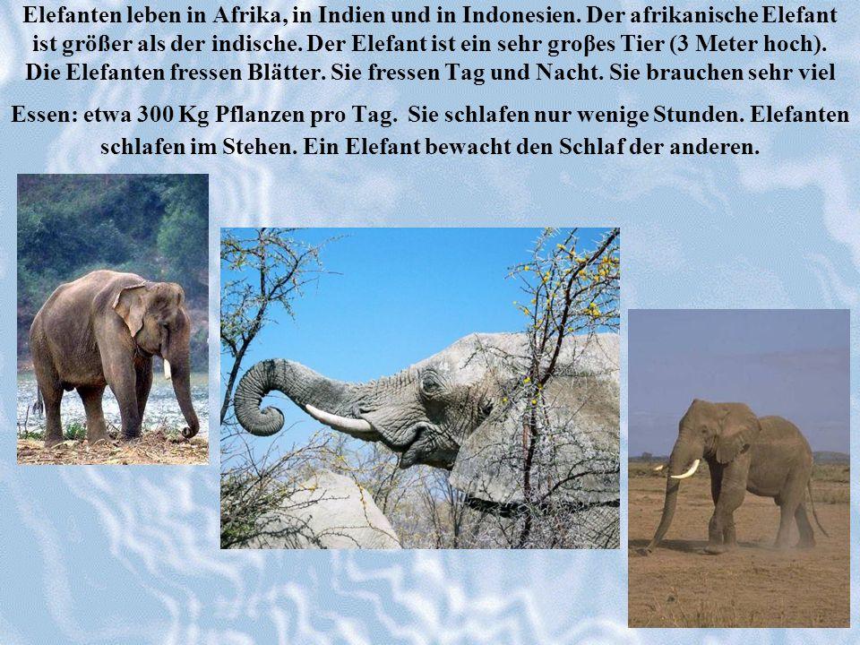 Elefanten leben in Afrika, in Indien und in Indonesien