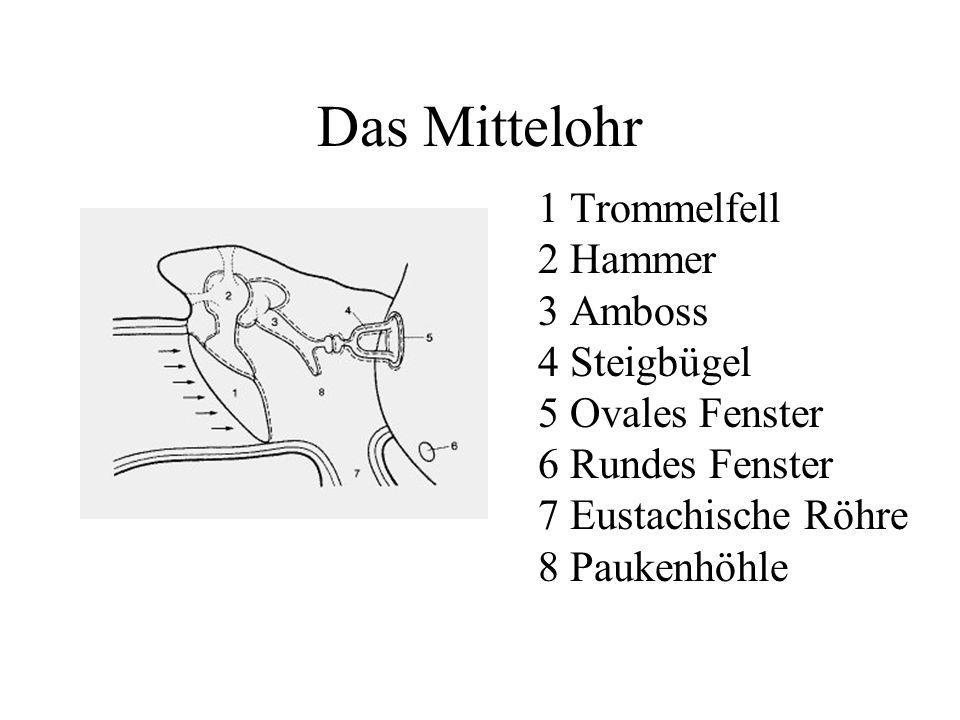 Das Mittelohr 1 Trommelfell 2 Hammer 3 Amboss 4 Steigbügel 5 Ovales Fenster 6 Rundes Fenster 7 Eustachische Röhre 8 Paukenhöhle.