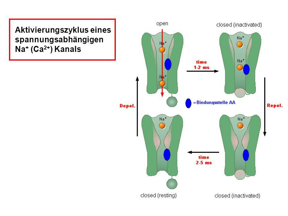 Aktivierungszyklus eines spannungsabhängigen Na+ (Ca2+) Kanals