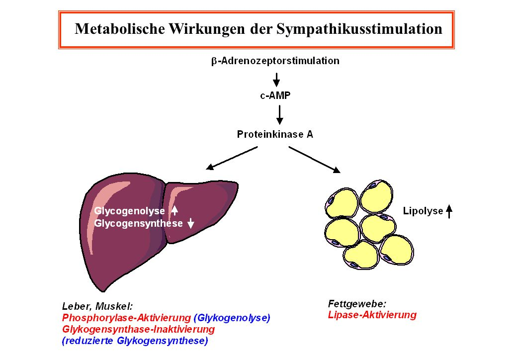 Metabolische Wirkungen der Sympathikusstimulation