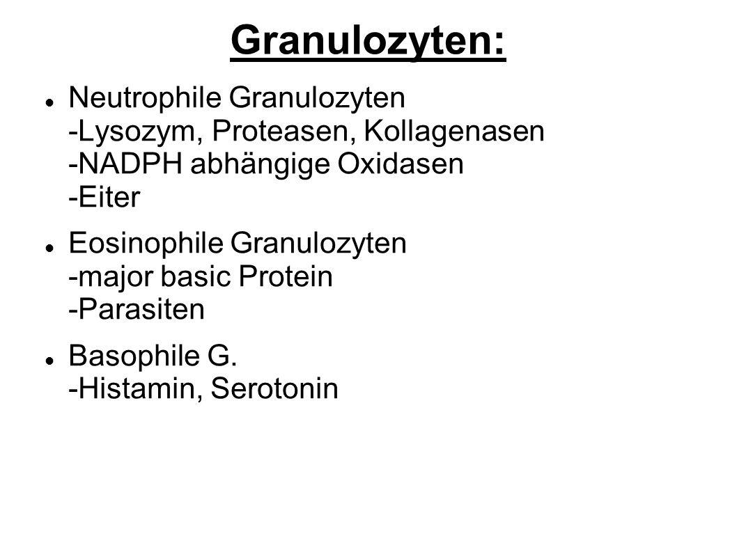 Granulozyten: Neutrophile Granulozyten -Lysozym, Proteasen, Kollagenasen -NADPH abhängige Oxidasen -Eiter.