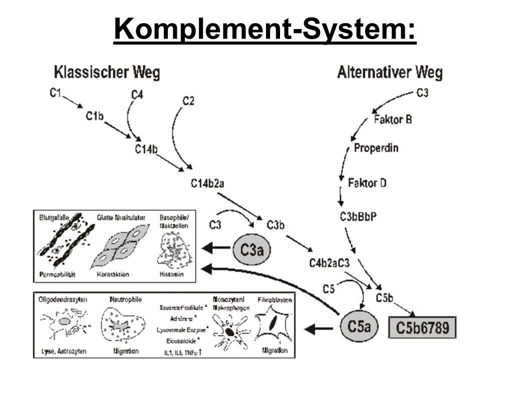 Komplement-System: