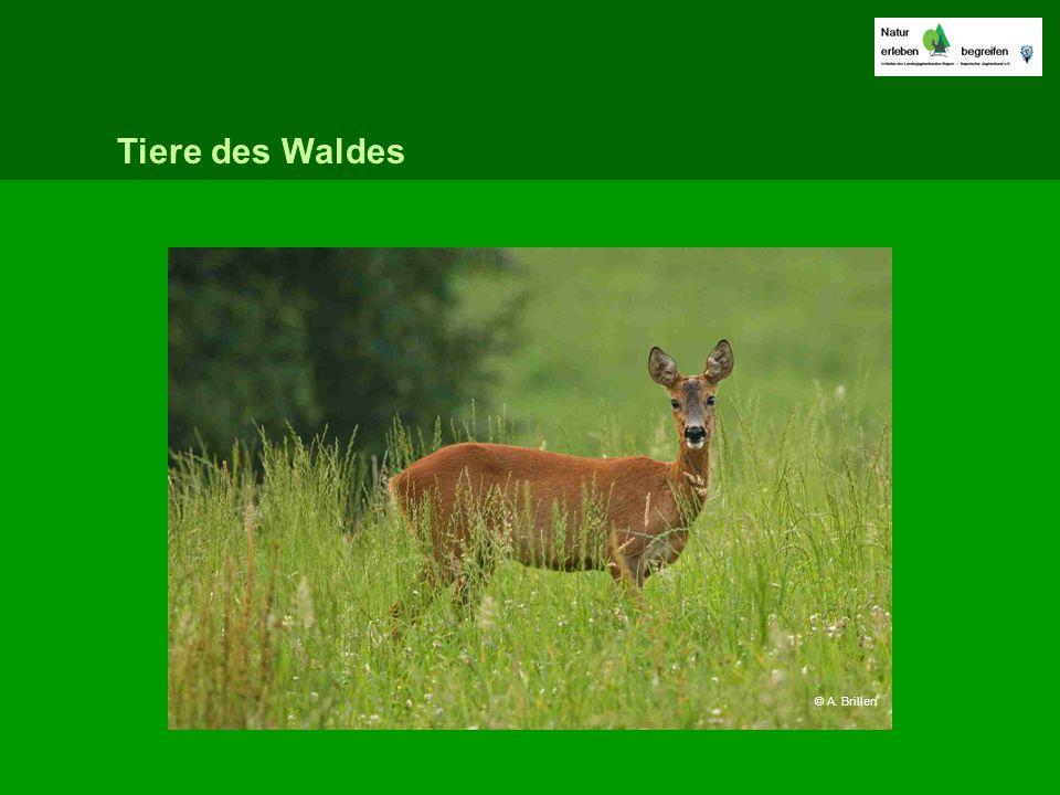 Tiere des Waldes © A. Brillen