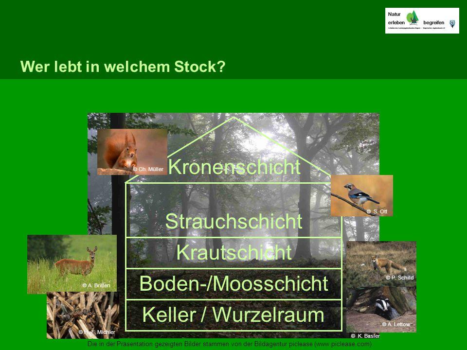 Kronenschicht Strauchschicht Krautschicht Boden-/Moosschicht