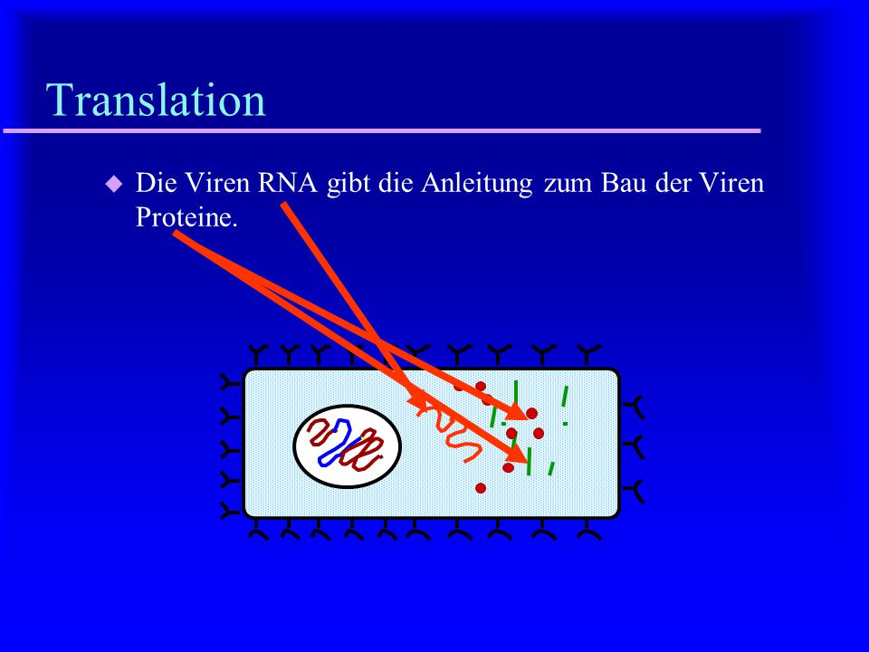 Translation Die Viren RNA gibt die Anleitung zum Bau der Viren Proteine.