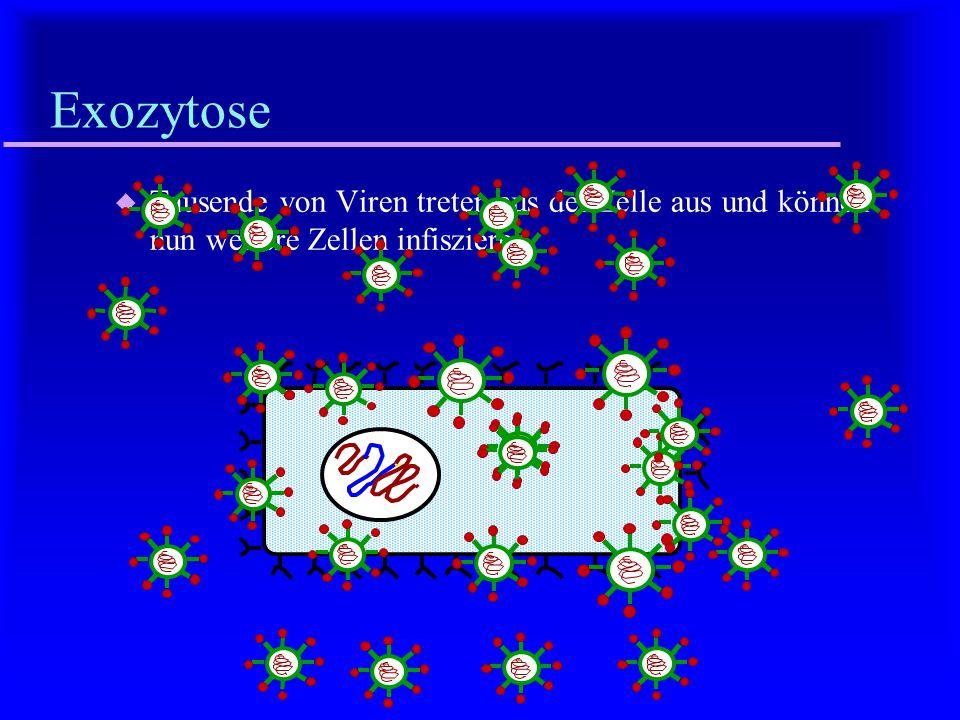 Exozytose Tausende von Viren treten aus der Zelle aus und können nun weitere Zellen infiszieren.