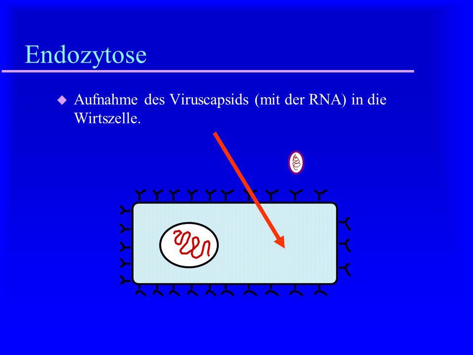 Endozytose Aufnahme des Viruscapsids (mit der RNA) in die Wirtszelle.