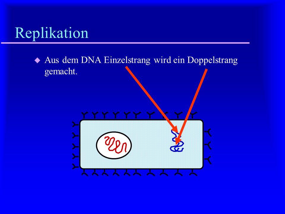 Replikation Aus dem DNA Einzelstrang wird ein Doppelstrang gemacht.