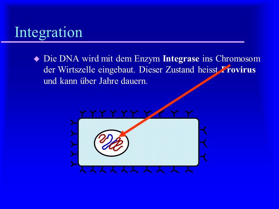 Integration Die DNA wird mit dem Enzym Integrase ins Chromosom der Wirtszelle eingebaut.