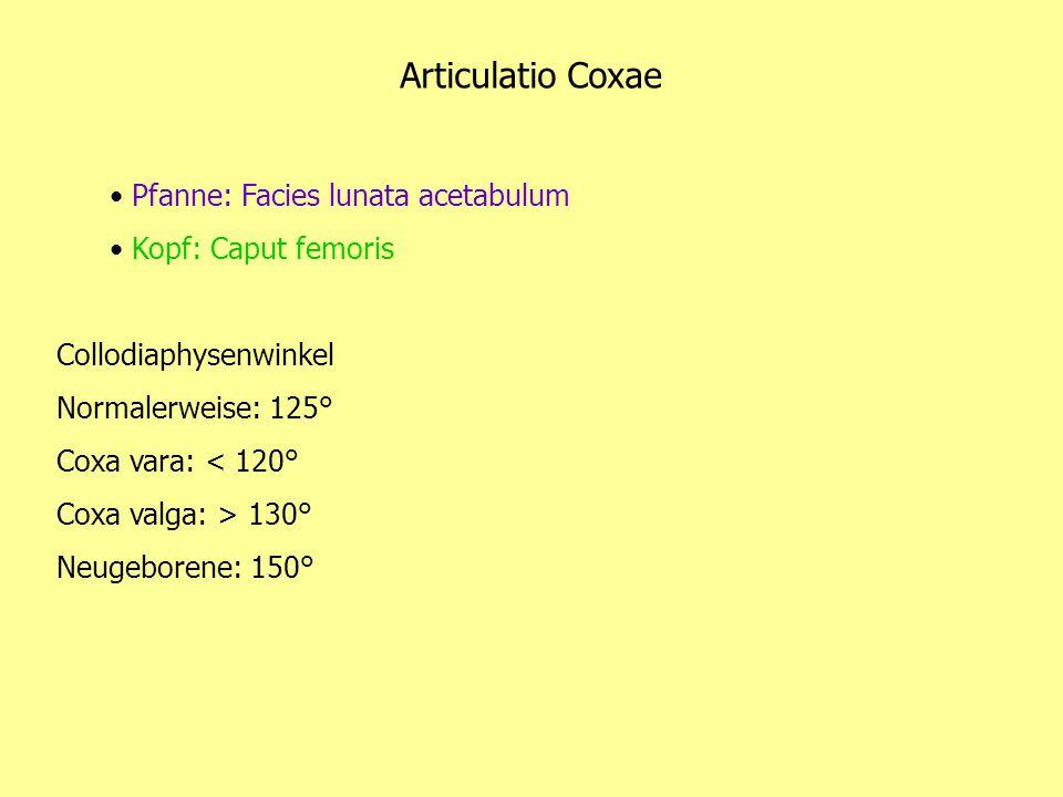 Articulatio Coxae Pfanne: Facies lunata acetabulum Kopf: Caput femoris