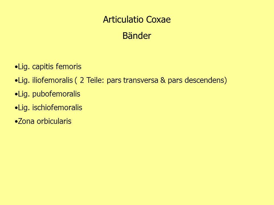 Articulatio Coxae Bänder Lig. capitis femoris