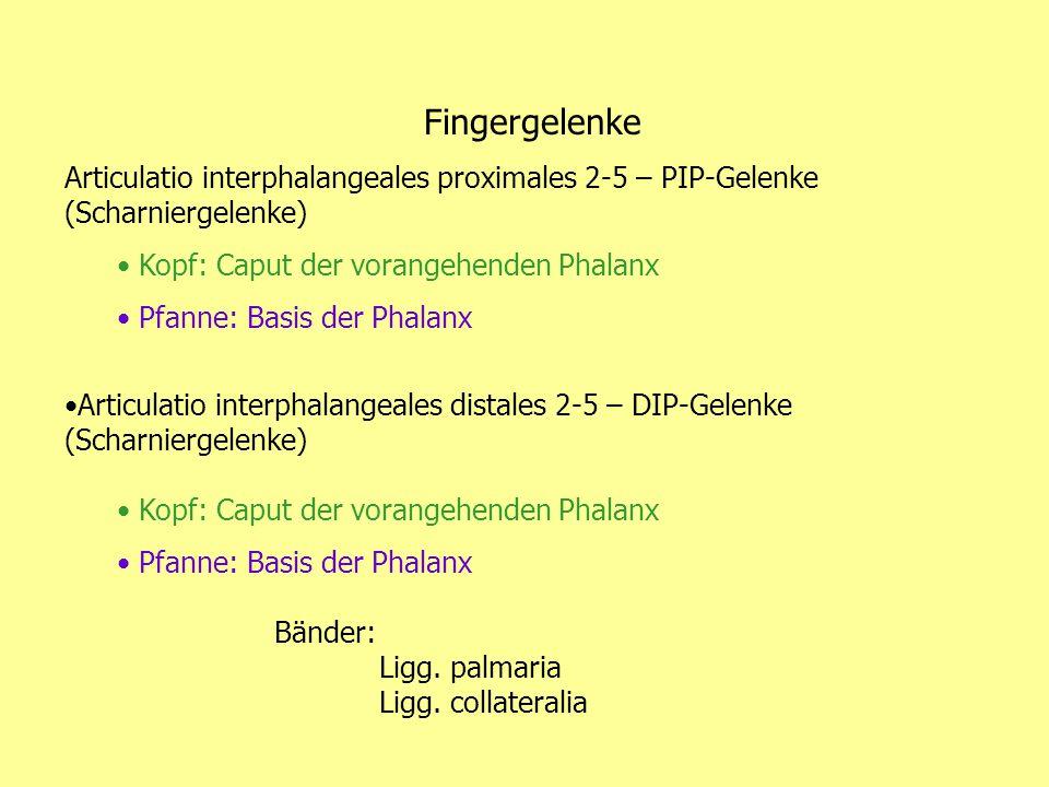 Fingergelenke Articulatio interphalangeales proximales 2-5 – PIP-Gelenke (Scharniergelenke) Kopf: Caput der vorangehenden Phalanx.