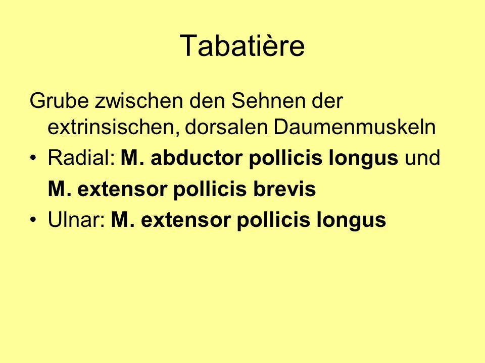 Tabatière Grube zwischen den Sehnen der extrinsischen, dorsalen Daumenmuskeln. Radial: M. abductor pollicis longus und.