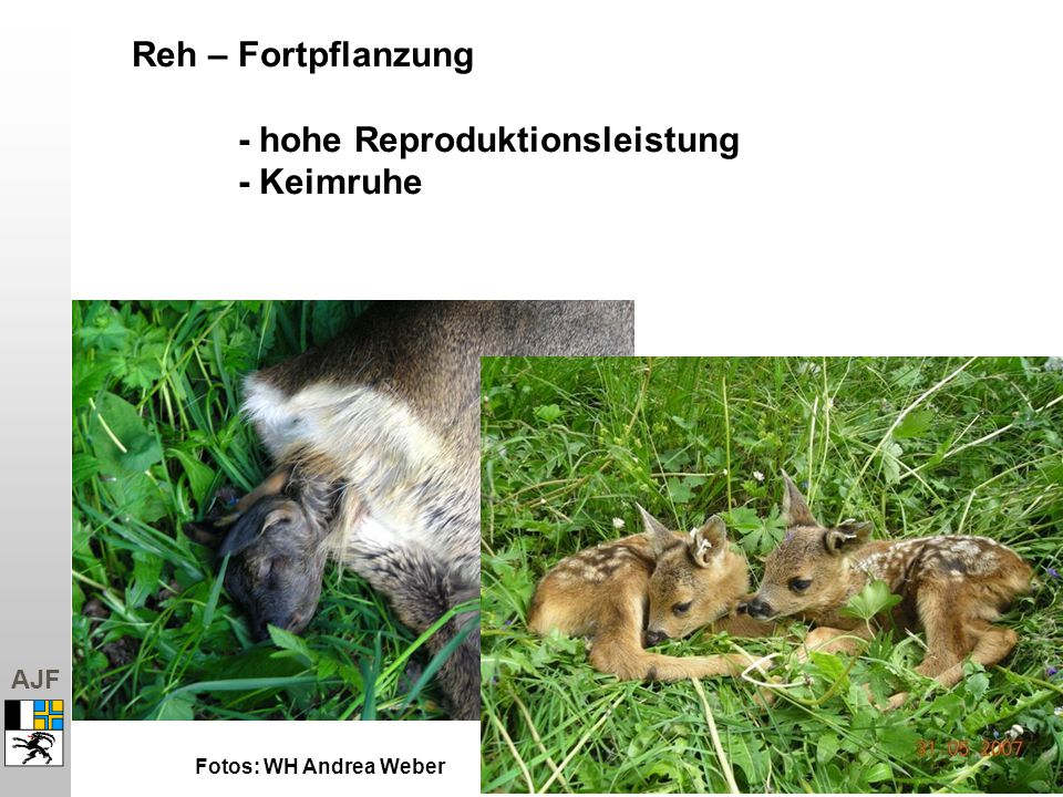 Reh – Fortpflanzung - hohe Reproduktionsleistung - Keimruhe