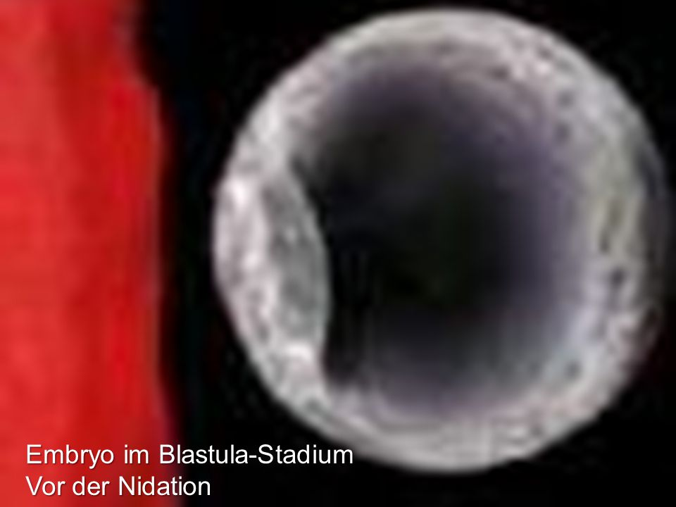 Embryo im Blastula-Stadium