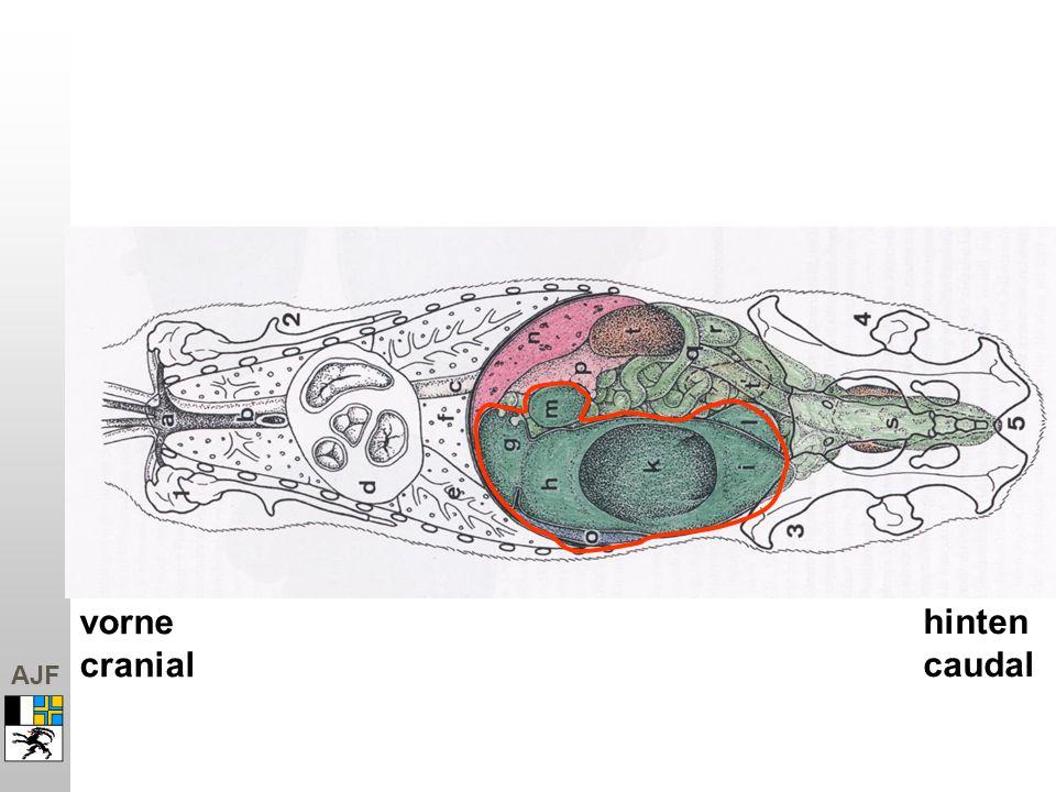 vorne cranial hinten caudal