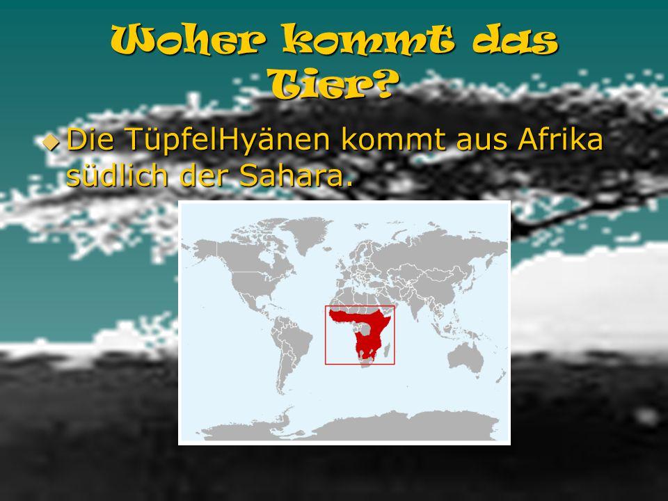 Woher kommt das Tier Die TüpfelHyänen kommt aus Afrika südlich der Sahara.