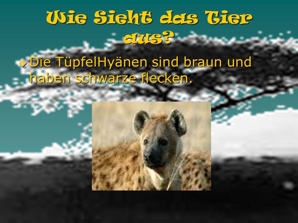 Wie Sieht das Tier aus Die TüpfelHyänen sind braun und haben schwarze flecken.
