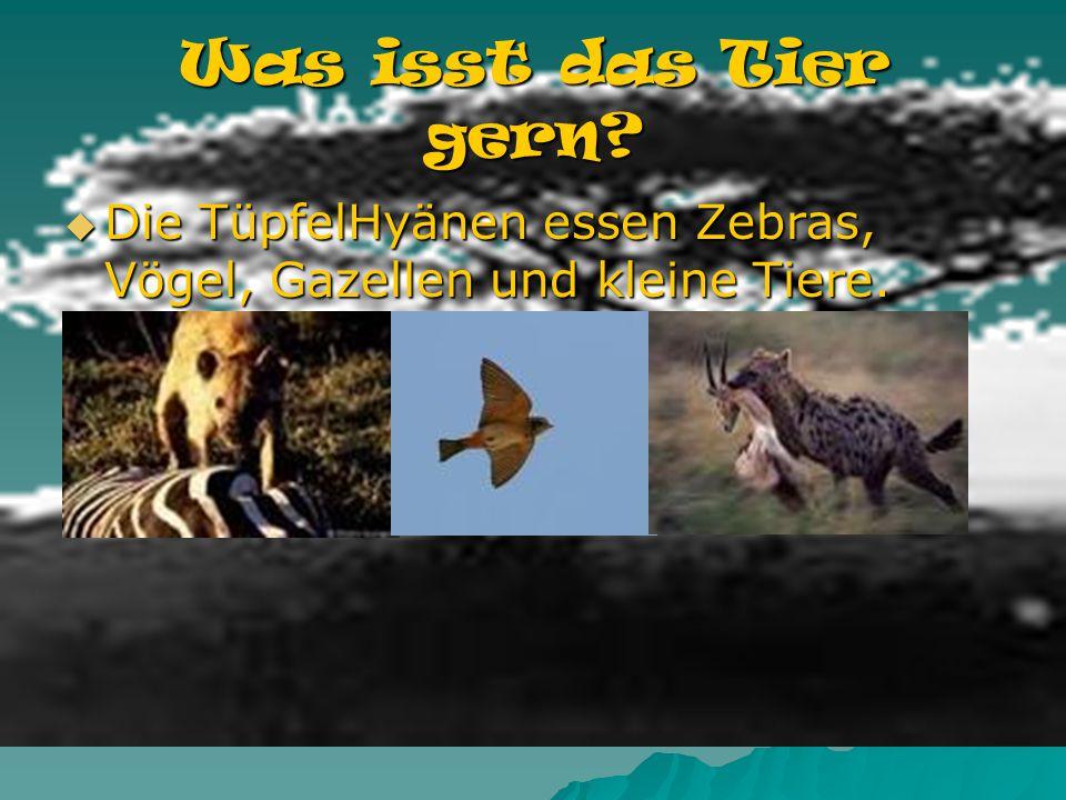 Was isst das Tier gern Die TüpfelHyänen essen Zebras, Vögel, Gazellen und kleine Tiere.