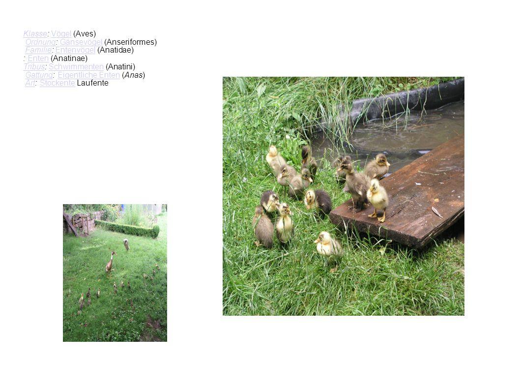 Klasse: Vögel (Aves) Ordnung: Gänsevögel (Anseriformes) Familie: Entenvögel (Anatidae) : Enten (Anatinae)