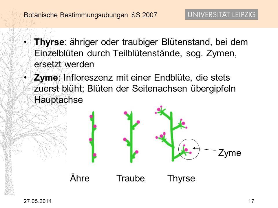 Thyrse: ähriger oder traubiger Blütenstand, bei dem Einzelblüten durch Teilblütenstände, sog. Zymen, ersetzt werden
