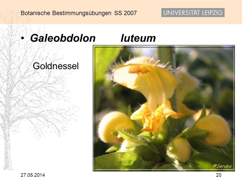 Galeobdolon luteum Goldnessel 31.03.2017