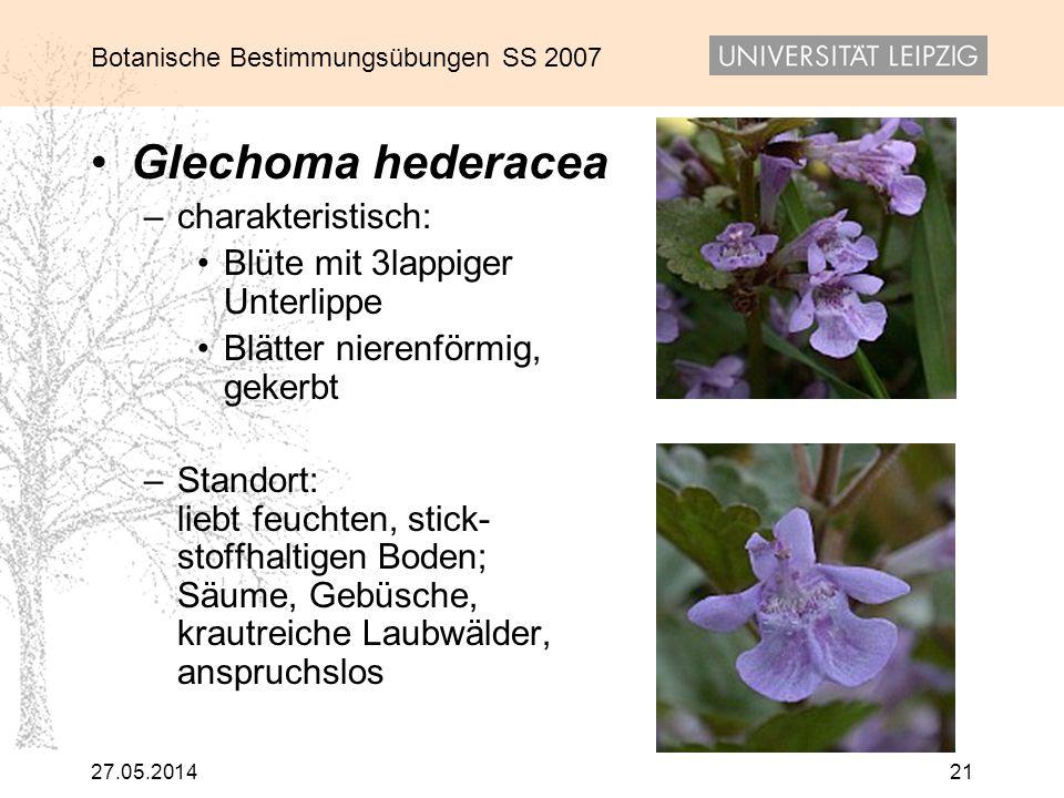 Glechoma hederacea charakteristisch: Blüte mit 3lappiger Unterlippe