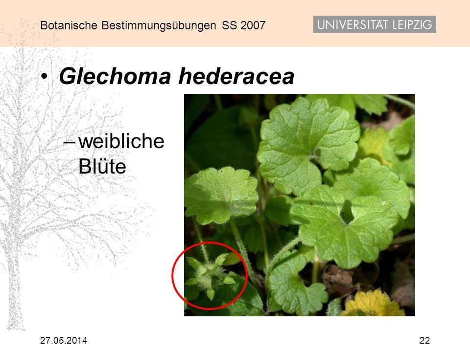 Glechoma hederacea weibliche Blüte 31.03.2017