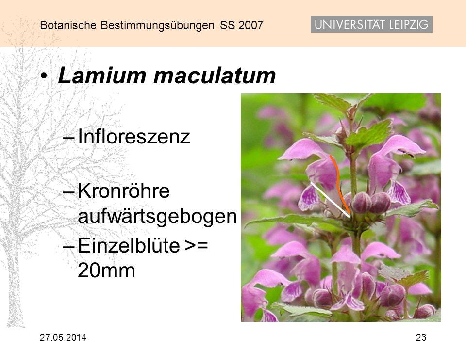 Lamium maculatum Infloreszenz Kronröhre aufwärtsgebogen