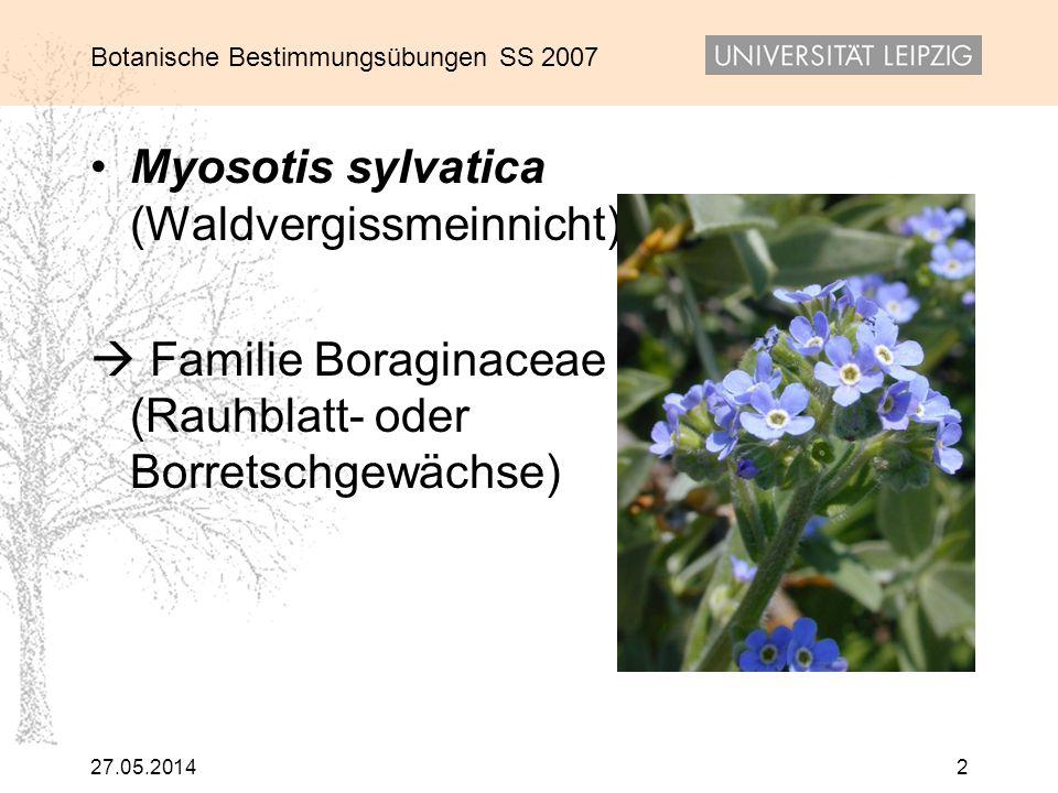 Myosotis sylvatica (Waldvergissmeinnicht)