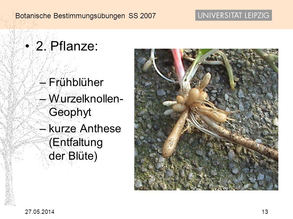 2. Pflanze: Frühblüher Wurzelknollen- Geophyt