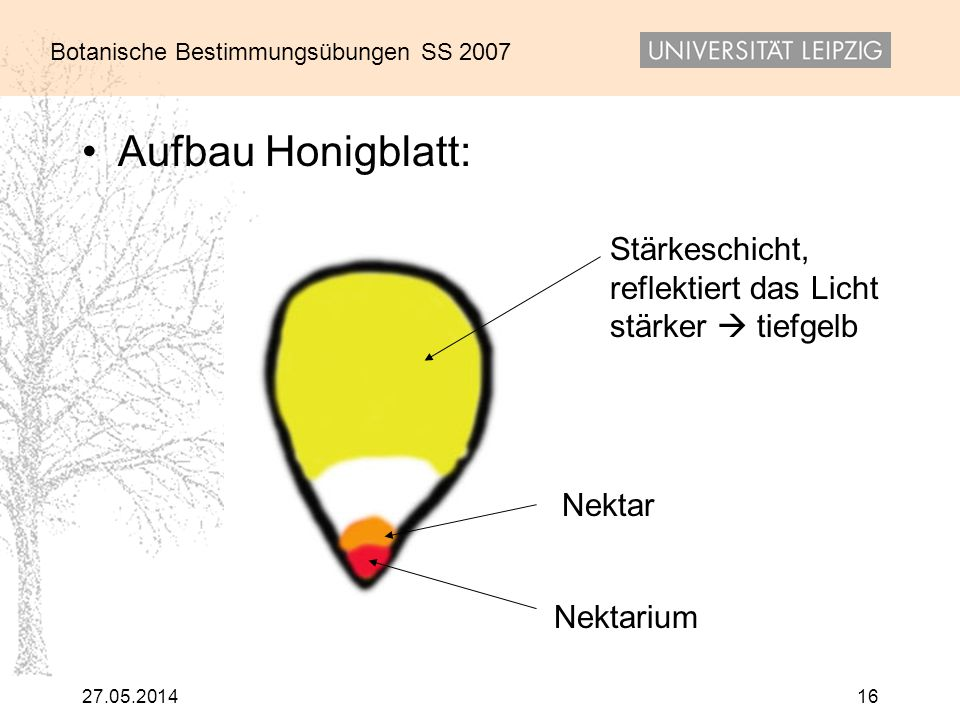Aufbau Honigblatt: Stärkeschicht, reflektiert das Licht stärker  tiefgelb.