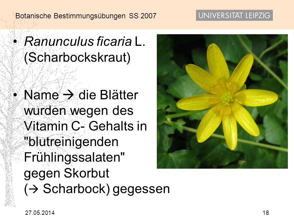 Ranunculus ficaria L. (Scharbockskraut)