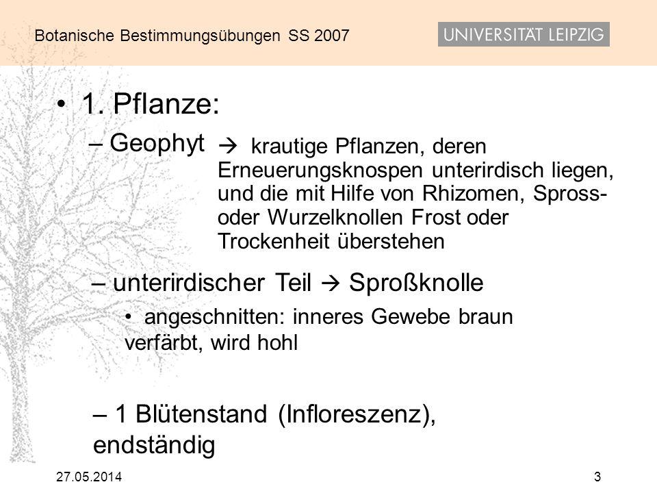 1. Pflanze: Geophyt unterirdischer Teil  Sproßknolle