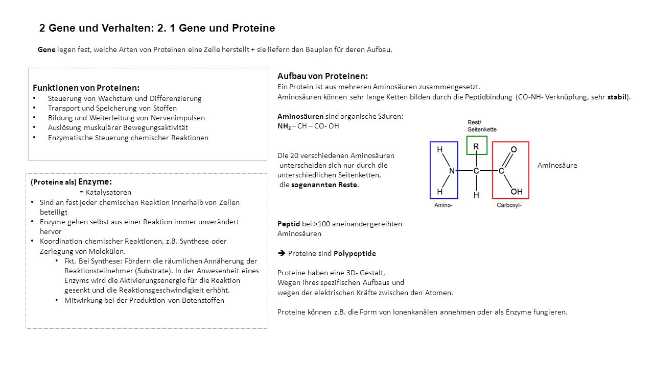 2 Gene und Verhalten: 2. 1 Gene und Proteine