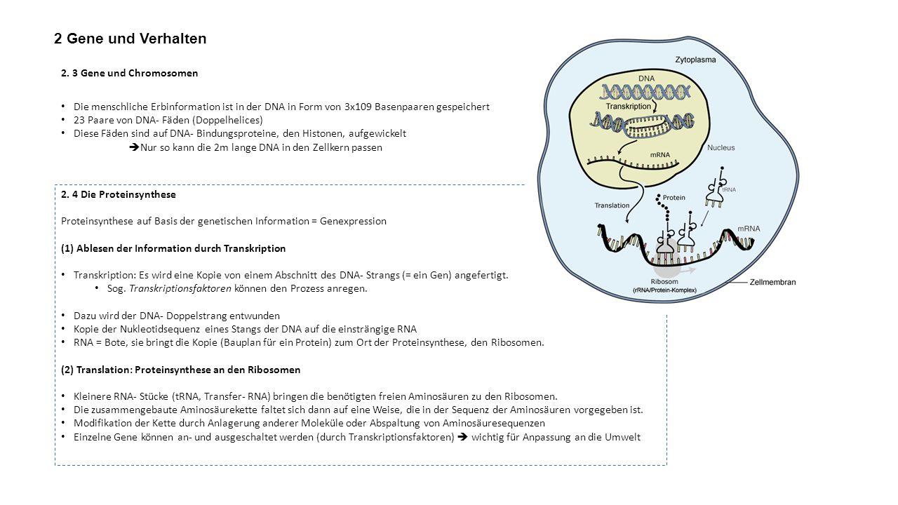 2 Gene und Verhalten 2. 3 Gene und Chromosomen