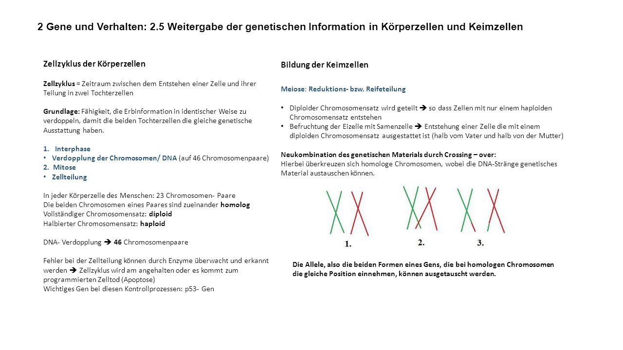 2 Gene und Verhalten: 2.5 Weitergabe der genetischen Information in Körperzellen und Keimzellen
