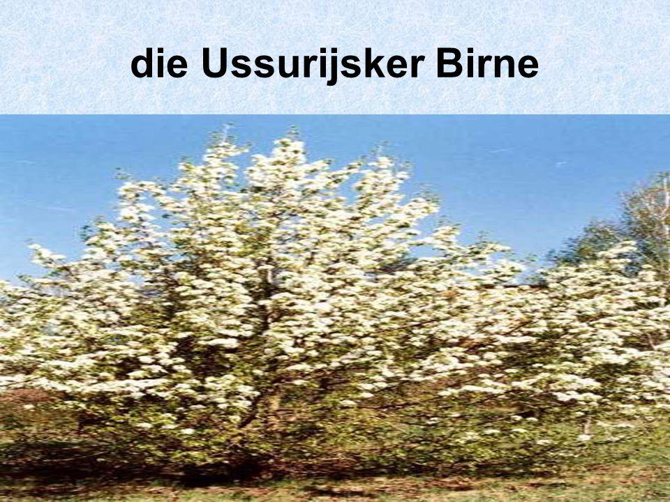 die Ussurijsker Birne