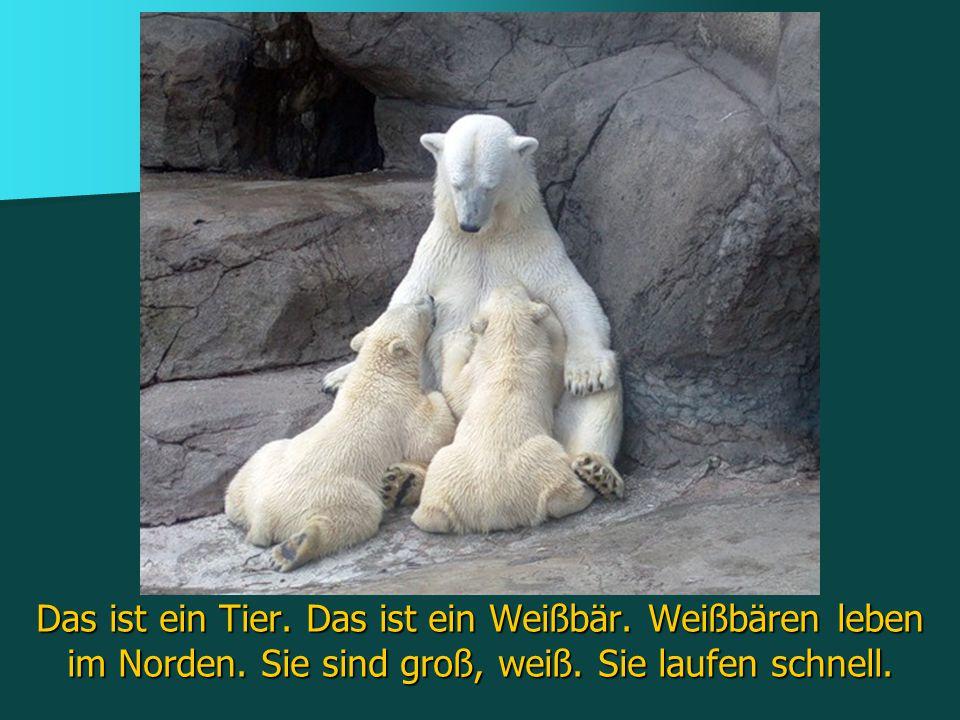 Das ist ein Tier. Das ist ein Weißbär. Weißbären leben im Norden
