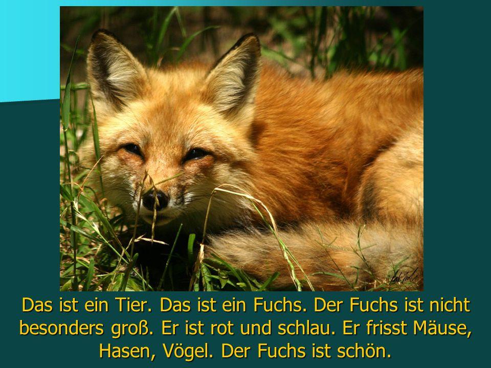 Das ist ein Tier. Das ist ein Fuchs. Der Fuchs ist nicht besonders groß.