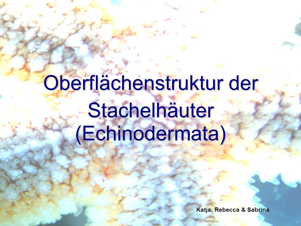 Oberflächenstruktur der Stachelhäuter (Echinodermata)