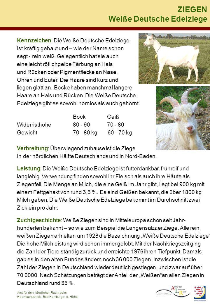Weiße Deutsche Edelziege