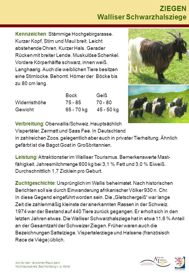 Walliser Schwarzhalsziege