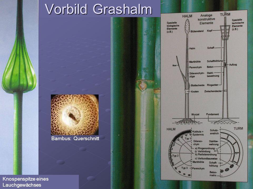 Vorbild Grashalm Bambus: Querschnitt