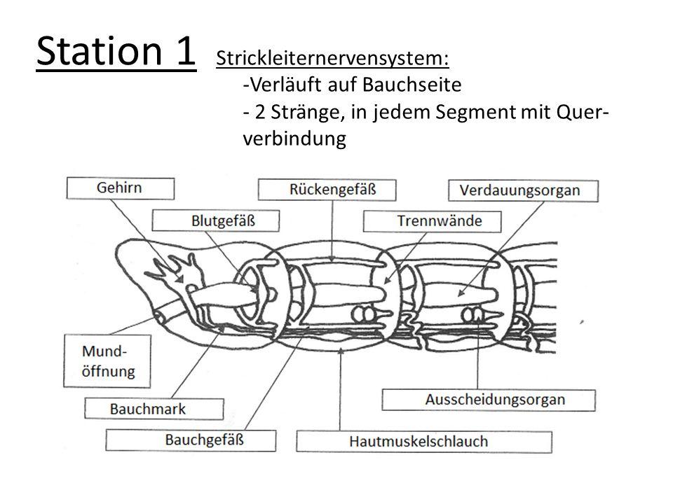 Station 1 Strickleiternervensystem: Verläuft auf Bauchseite