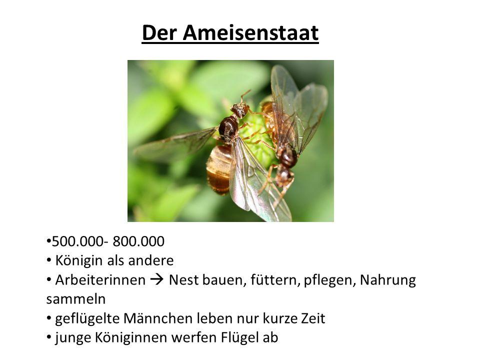 Der Ameisenstaat 500.000- 800.000 Königin als andere