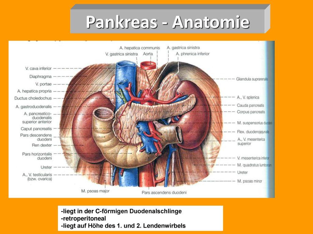 Berühmt Bauchspeicheldrüse Anatomie Ideen - Physiologie Von ...